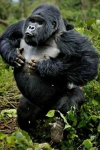 Perché il gorilla si batte il petto ?