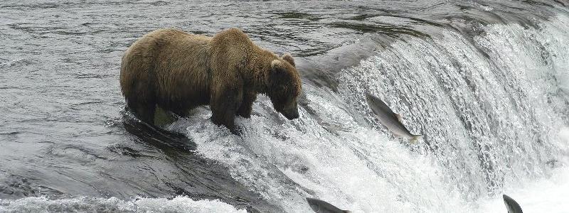 Perché i salmoni risalgono i fiumi ?