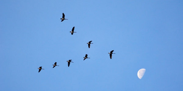 Perché molti uccelli migratori quando volano assumono la formazione a V?