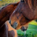 Cavalli Insugherata 4